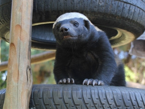 A honey badger named BG who lives in the Johannesburg Zoo has become the world's first animal user on Twitter.