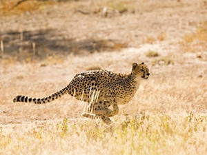 Cheetah experts believe research into the animal's locomotion dynamics will help humans to better understand these animals, aiding conservation efforts.