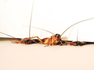 The search-and-rescue robot was inspired by the ability of cockroaches to squeeze through tiny crevices.