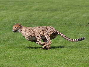 Lengau, Setswana for cheetah, is Africa's fastest supercomputer and second fastest in the southern hemisphere.