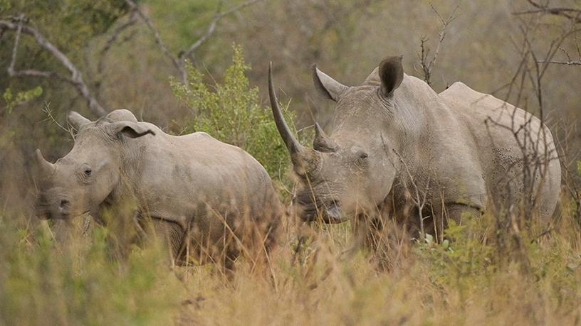 In 2017, a total of 1 028 rhinos were poached in SA.