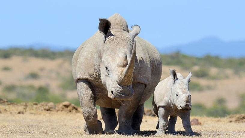 According to the Rhino Coin Foundation, more than 7 000 African rhino have been lost to poaching in the last 10 years.